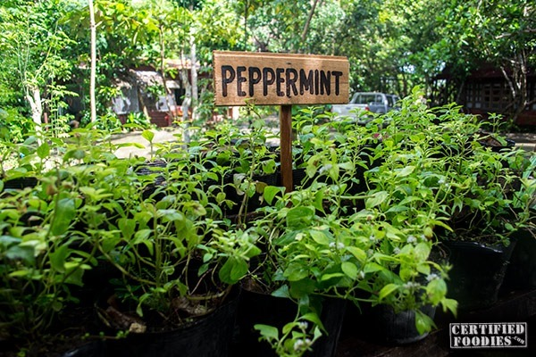 Fresh peppermint and other herbs at Bohol Bee Farm